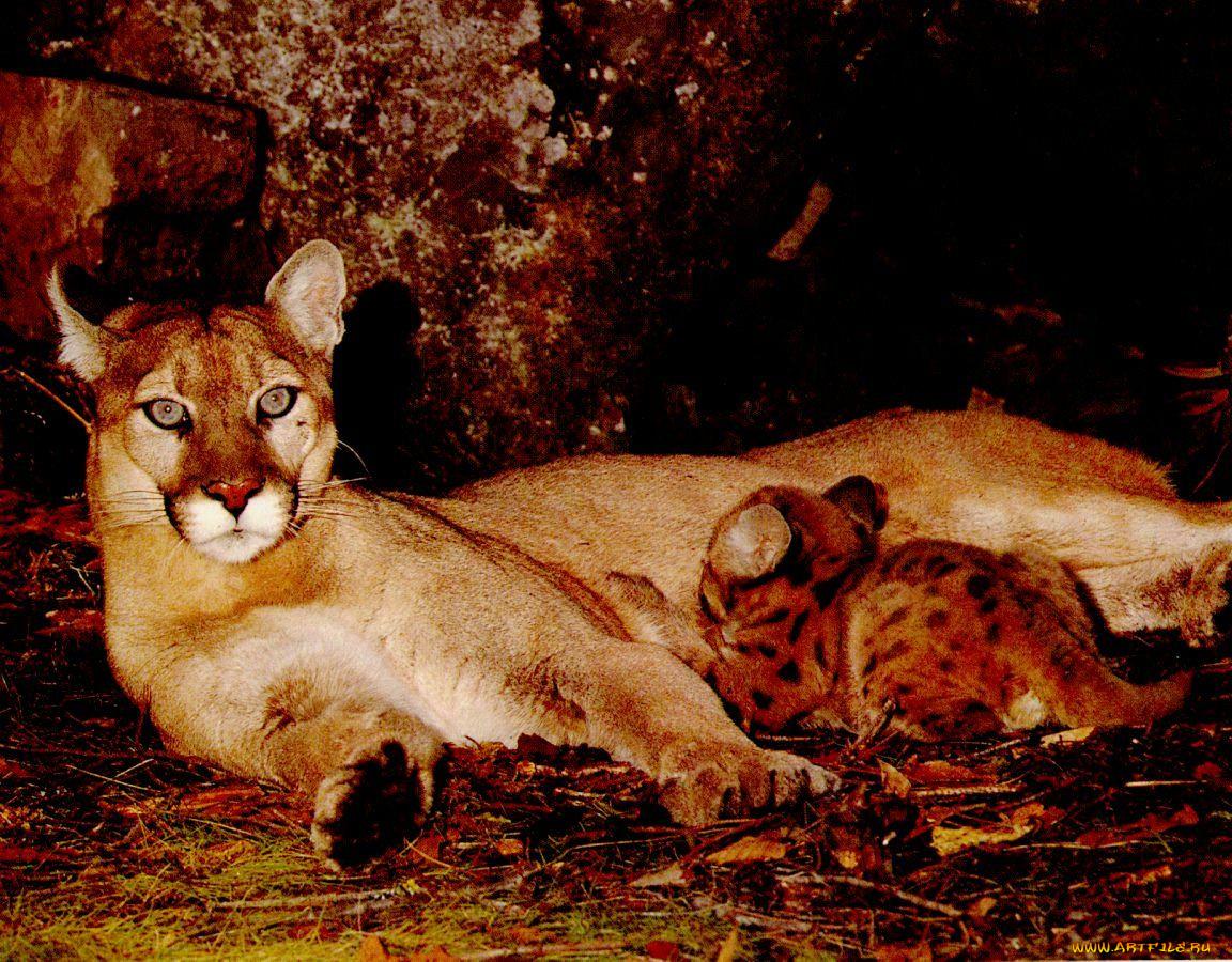чтение картинки с леопардами пантерами львами пумами фото микс